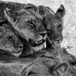 LionBW