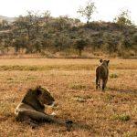 LionsMating