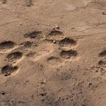 Lion Diaries: Tracks of a Hunt