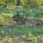 Lion Diaries: Saving Neluai from a Lion Hunt