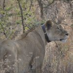 Conservation Safaris with Campi ya Kanzi