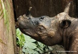 First Sumatran Rhino Found in Area in 40 Years